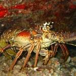 96-caribbean-spiny-lobster-mb-website
