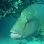 Napoleanfish 2