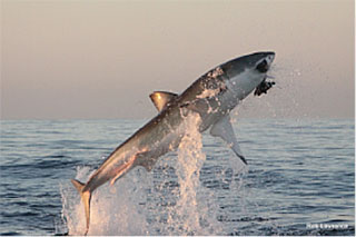 Flying Great White Sharks  Safari in Kruger Package  Dive Discovery South Africa