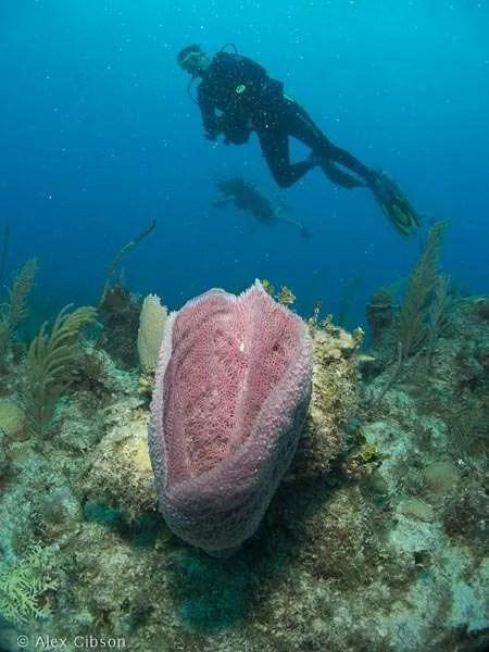 Purple barrel sponge - Cayo Largo
