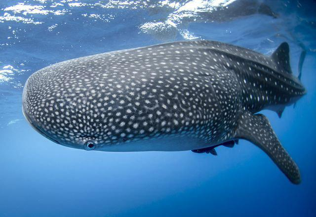 כריש לוויתן נמצא מת בנמל בעקבה