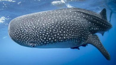 כריש לוויתן