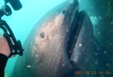 megamouth אחד הכרישים הנדירים בים