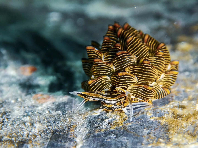 Cyerce nigra nudibranch found while scuba diving in Romblon, Philippines