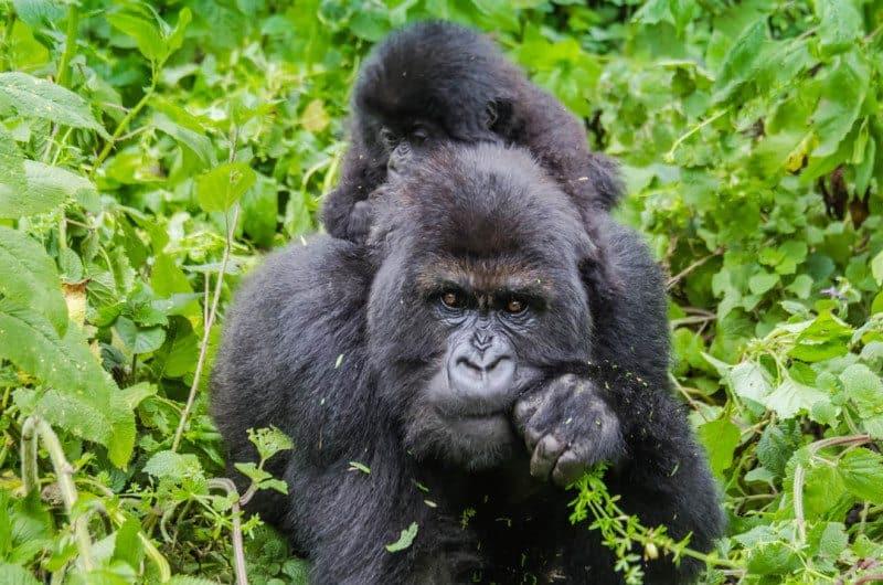 Mountain Gorilla Rwanda Susa Group