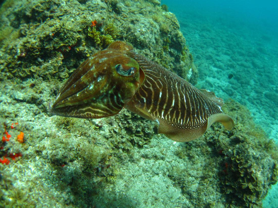 Dive Tenerife. Cuttlefish