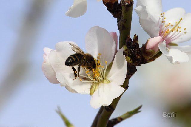 abeja melifera libando en la flor del almendro