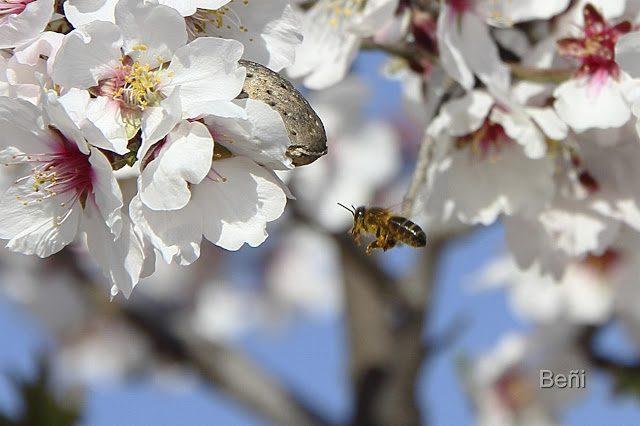 abeja melifera aproximandose volando a la flor del almendro