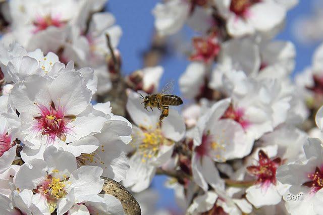 abejaja melifera aproximandose a las flores del almendro