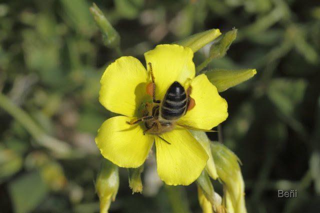 abeja melifera sobre flor