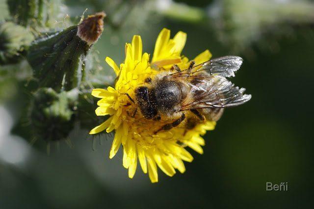 insecto polinizador con polen sobre su cuerpo