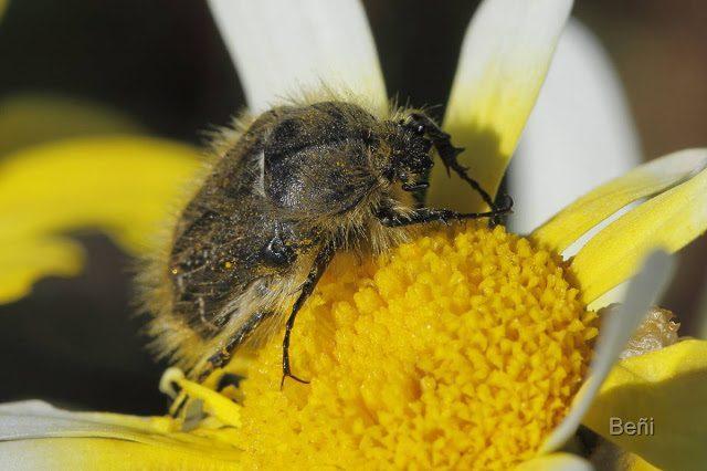 insecto comedor de flores