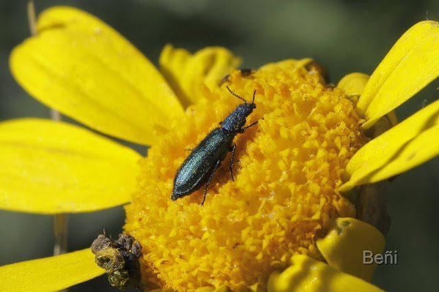insecto coleoptero sobre una flor