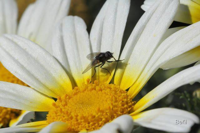 mosca sobre flor