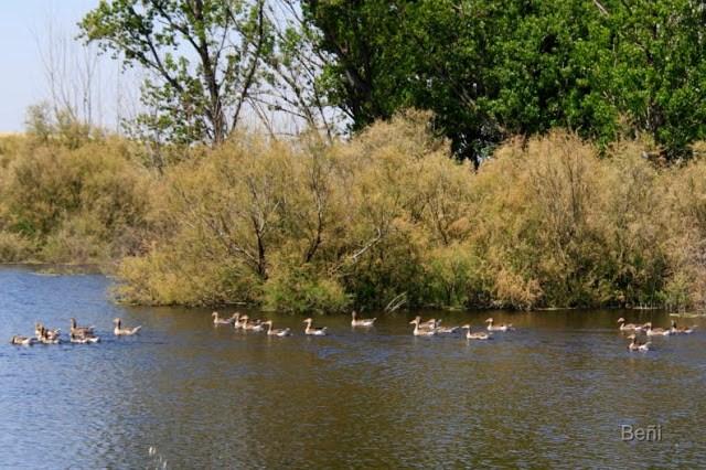 Ansar comun, greylag goose, Anser anser