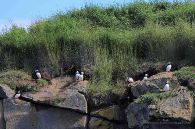 colonia de frailecillo atlantico en islandia enel islote engey