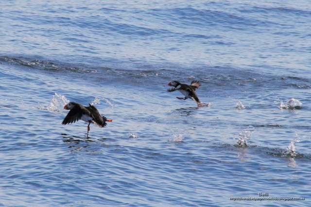 frailecillo atlantico iniciando el vuelo desde el mar