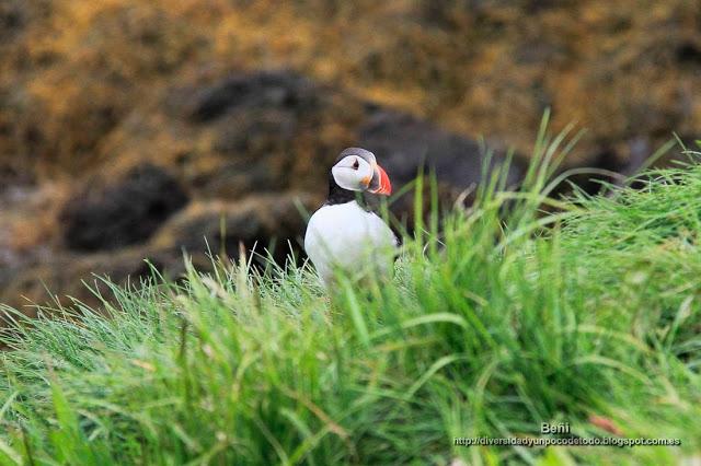 Frailecillo, puffin, Fratercula arctica