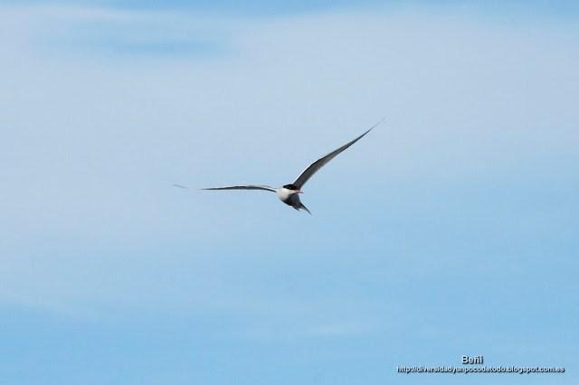 CharrAn Artico, Artic Tern, Sterna paradisaea