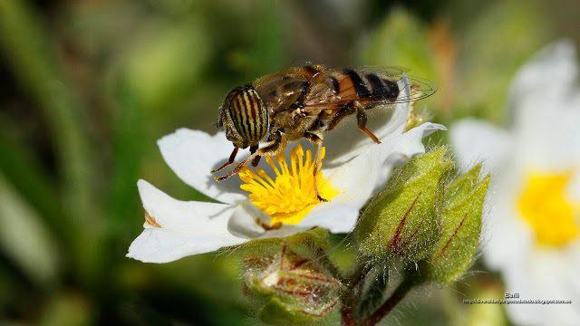 fondo de pantalla o wallpaper insecto sirfido y flor
