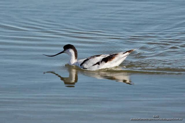 Avoceta comun, pied avocet, Recurvirostra avosetta