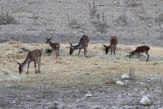 hembras y juveniles de ciervo rojo