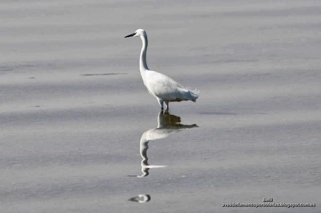 Garceta comun, little egret, Egretta garzetta