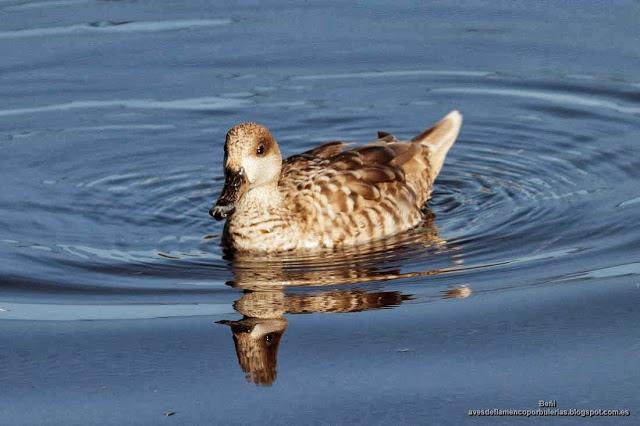 Cerceta pardilla, marbled duck or marbled teal, Marmaronetta angustirostris