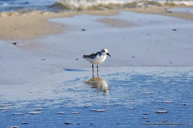 Correlimos tridáctilo o playerito blanco (Esp.), sanderling (Eng.), Calidris alba.