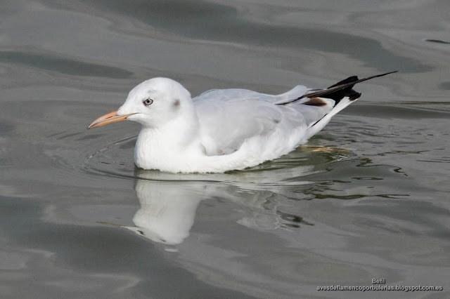 Gaviota picofina, slender-billed gull, Larus genei