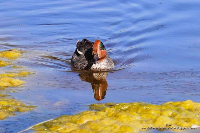 Cerceta comun, green-winged teal, Anas crecca