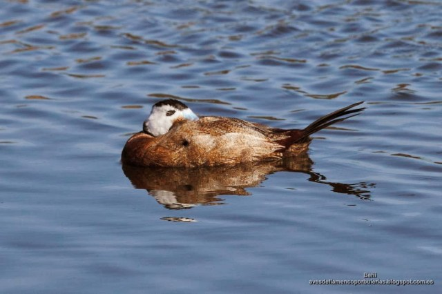 Malvasia cabeciblanca, white-headed duck, Oxyura leucocephala