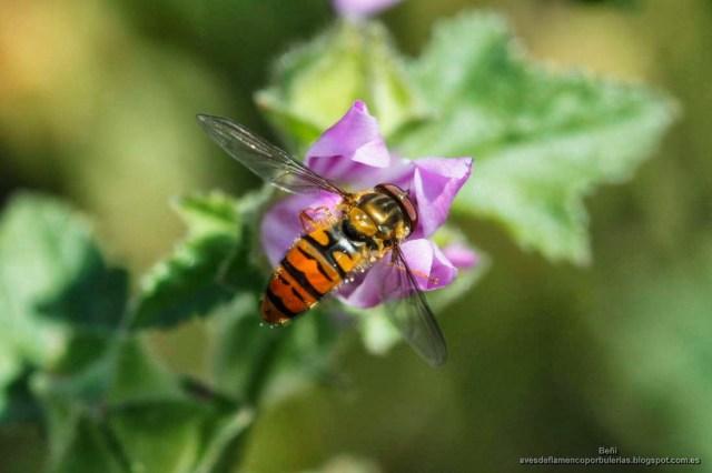 el sirfido Episyrphus balteatus o mosca cernidora