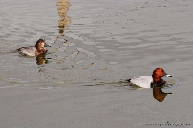 Porron europeo, common pochard, Aythya ferina