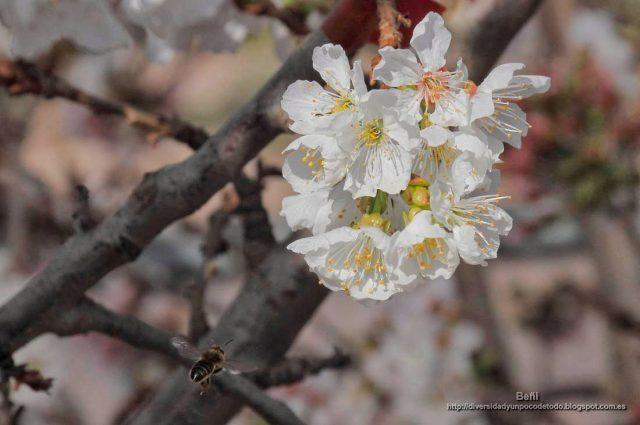 abeja melifera volando hacia la flor del cerezo