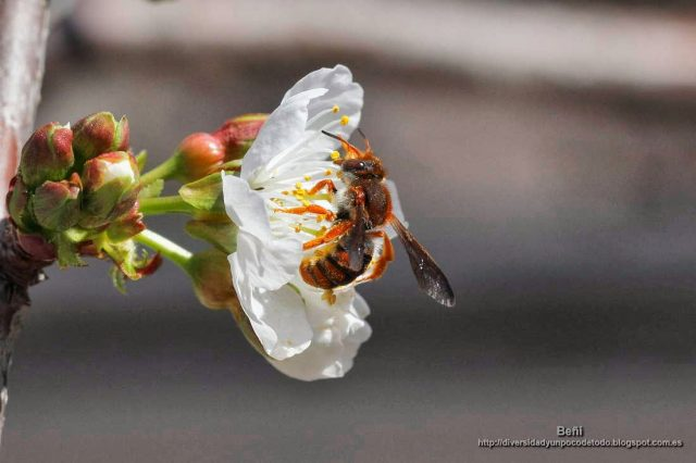 Rhodanthidium sticticum en la flor del cerezo