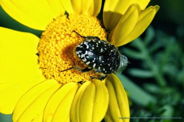 el escarabajo Oxythyrea funesta