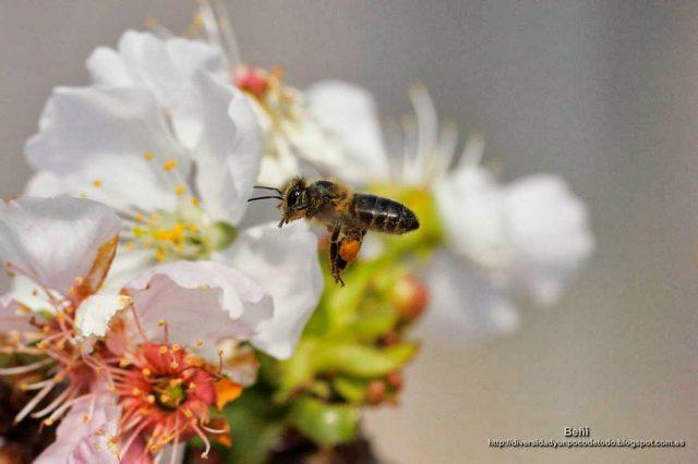 Apis mellifera o abeja melifera con gruesas corviculas
