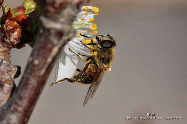 Eristalis tenax en la flor del cerezo