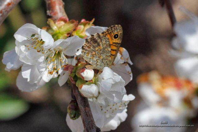 Lasiommata magera en la flor del cerezo