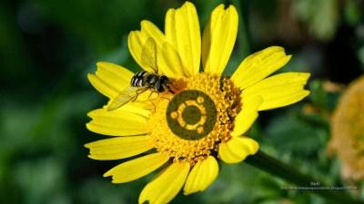 fondo de pantalla para opensue insectos polinizadores