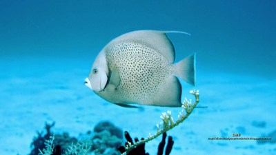 wallpaper pez angel gris en el arrecife de coral