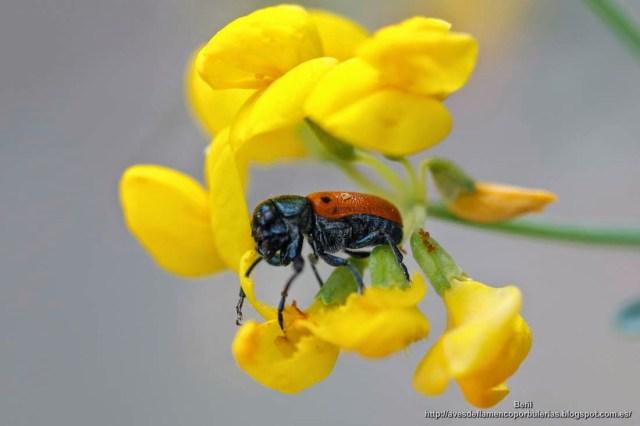 Trichodes octopunctatus o escarabajo de ocho puntos