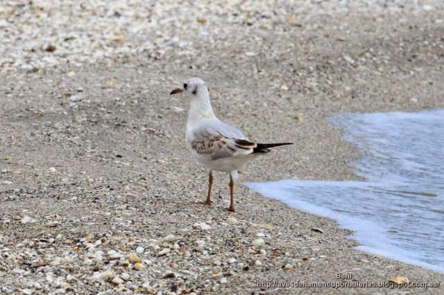 Gaviota reidora, black-headed gull, Larus ridibundus