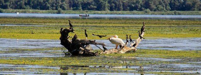 cormoran pigmeo, pelicano comun y cormoran grande en el delta del danubio