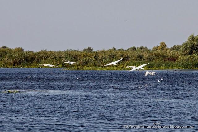 Cisne blanco o cisne vulgar, mute swan, Cygnus olor