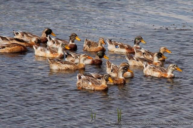 Anade azulón o real, mallard or wild duck, Anas plathyrhynchos