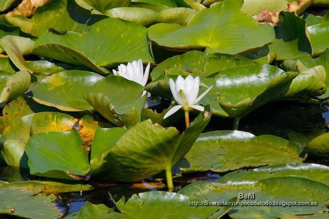 nenufar blanco o azucena de agua en los canales del danubio