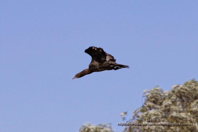 cormoran pigmeo
