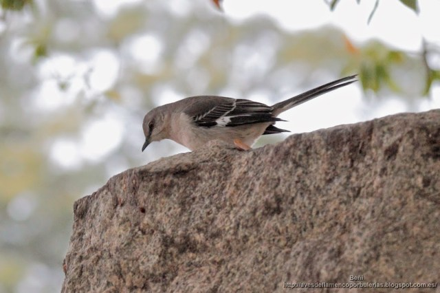 sinsonte norteno o cenzontle, northern mockingbird, Mimus polyglottos